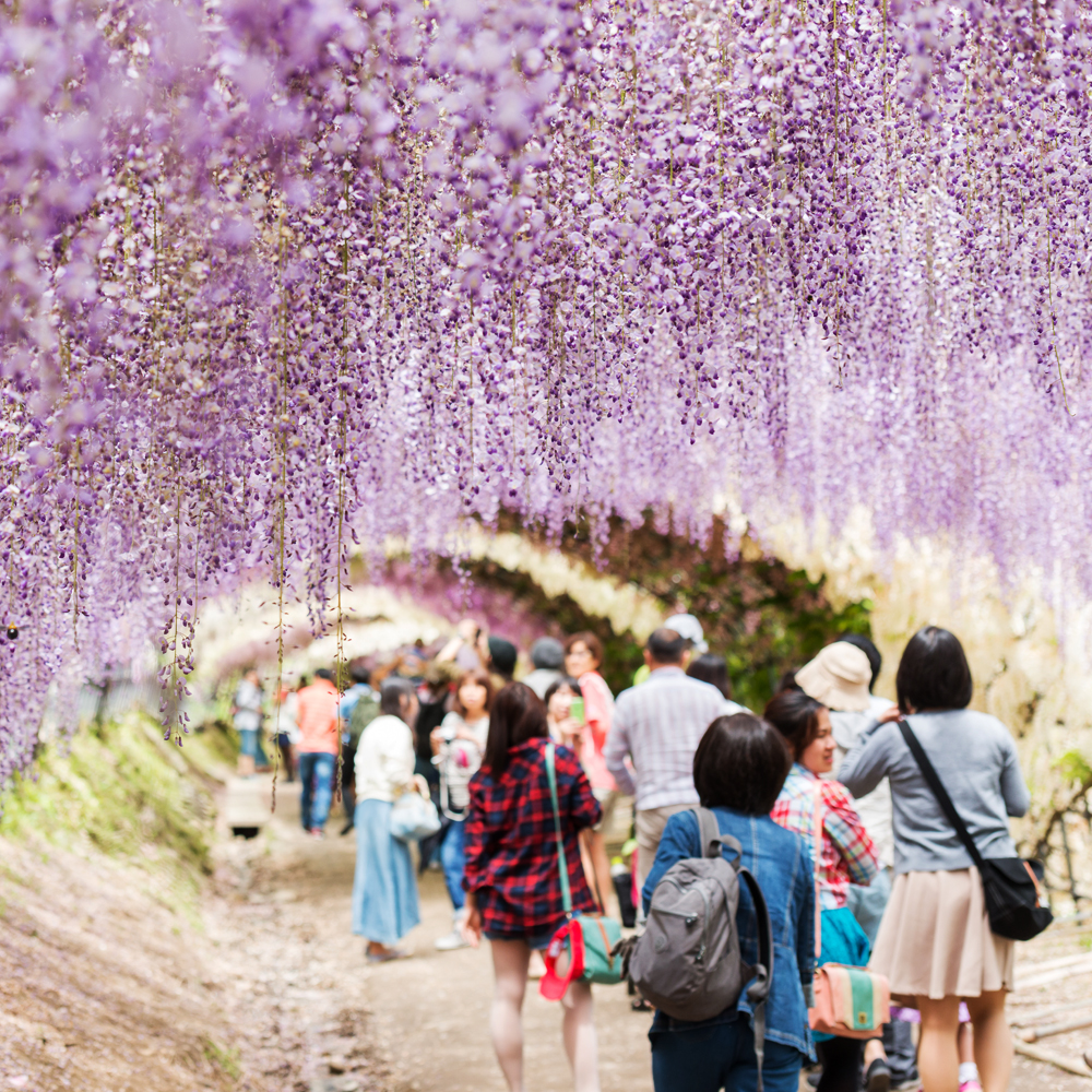 The most beautiful places in the world - The Wisteria Flower Tunnel, Japan