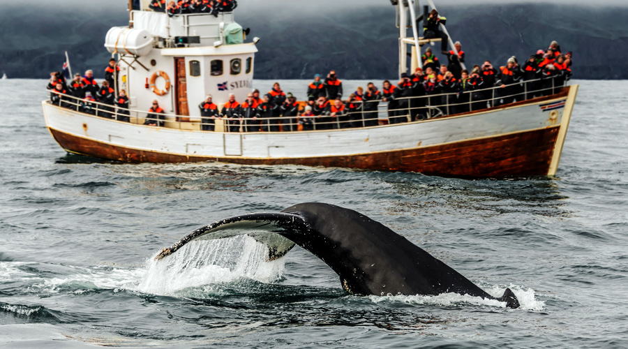 Visiting Iceland - Whale Watching